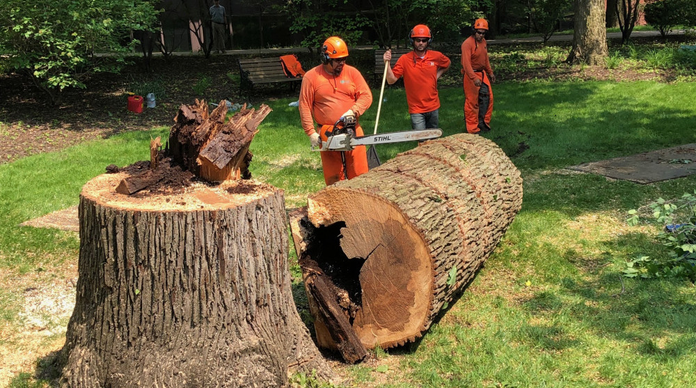 Arborists cutting down the Witness Tree outside of the President's House.