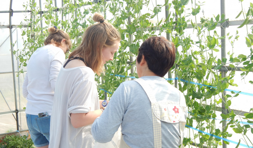 Student researchers help harvest beans following a farm interview in Semboku, Akita. They were in...